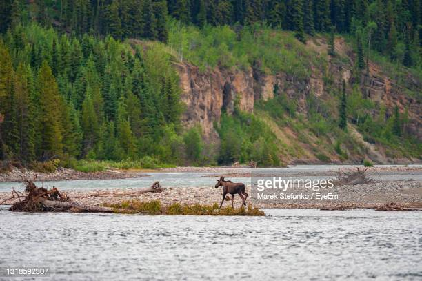 moose crossing the stikine river in spatsizi plateau wilderness provincial park - marek stefunko stock pictures, royalty-free photos & images