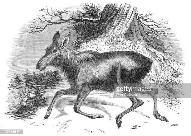 Moose deer, at the Surrey Zoological Gardens, 1844. 'The Elk, Alces americanus...is a female, and of course destitute of horns. The male of the...