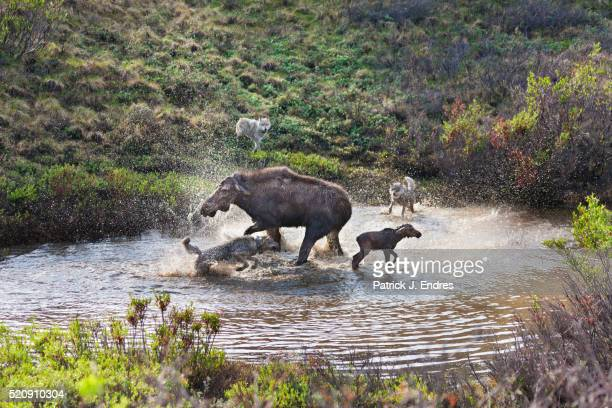 moose defends calf from attacking wolves - hunting stock pictures, royalty-free photos & images