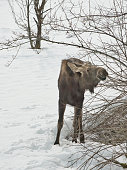 small moose eating bushes winter with