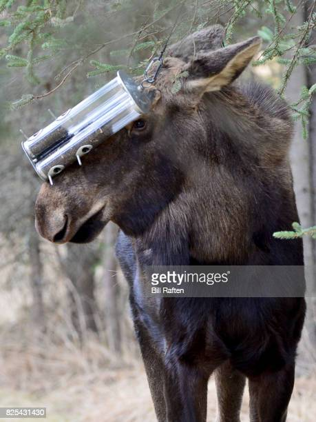 Moose eating from bird feeder