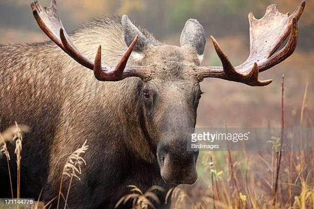 Bull Moose Face- männliche