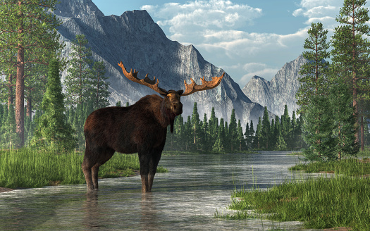Moose in a River 1136024551