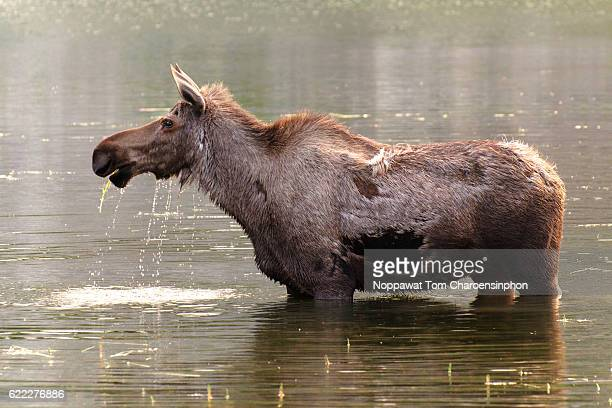 moose in alaska - moosehead lake stock photos and pictures