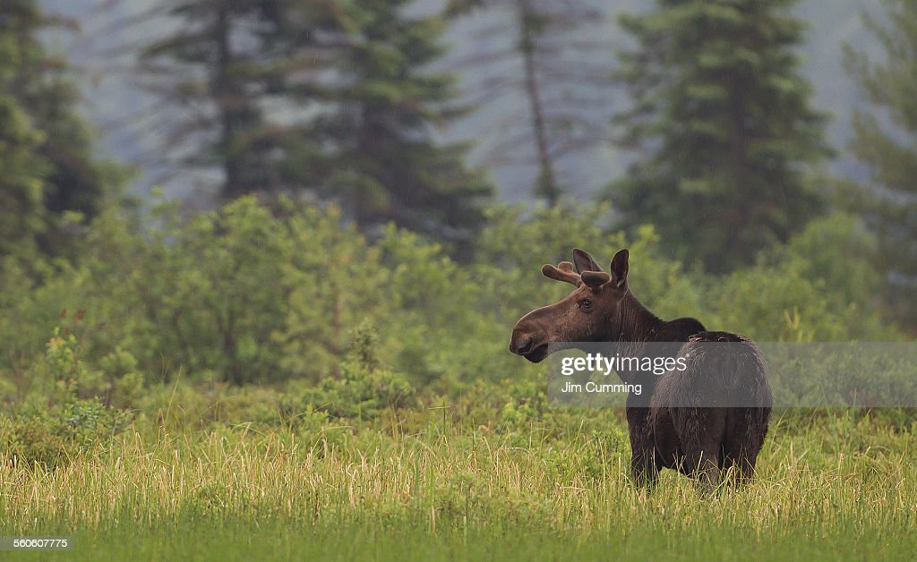 Moose in Algonquin Park : Stock Photo