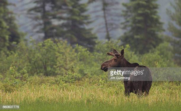 Moose in Algonquin Park