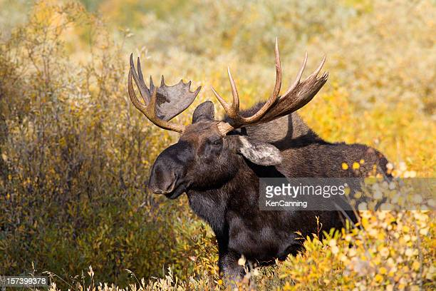 Moose in Autumn Willow