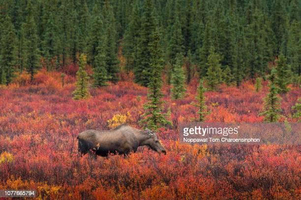 Moose in Denali National Park, Alaska, USA in Fall Season