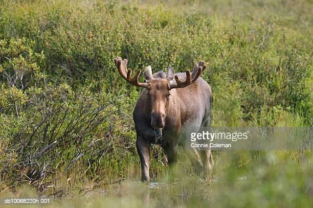Moose in grassy field