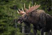 Moose in Jasper Canada
