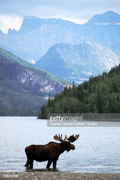 Moose In Lake Against Rocky Mountains