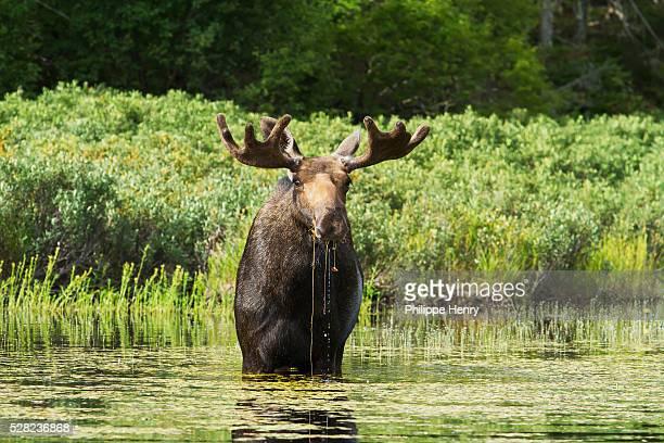 moose in lake - シャウィニガン ストックフォトと画像