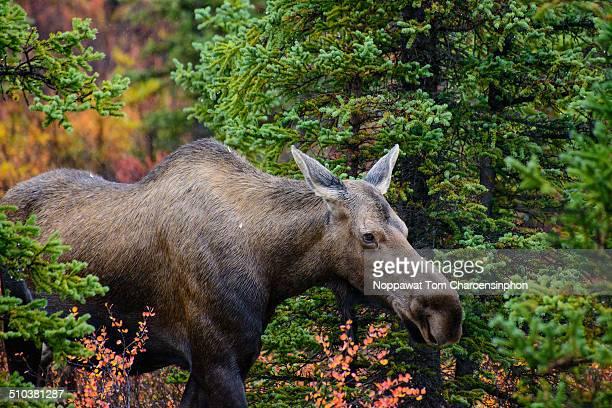 Moose in national park