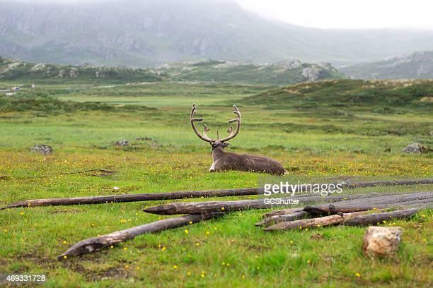 Moose in Nature, Norway
