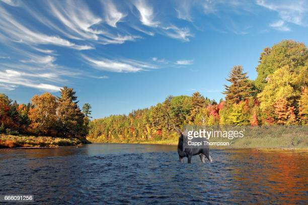 Moose in the Cains River