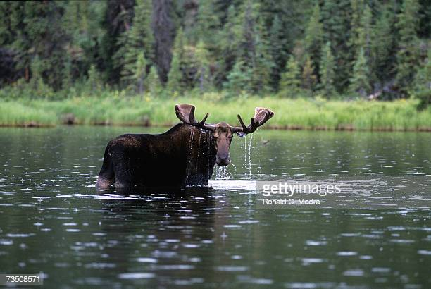 Moose in the river during a fishing trip on the Turnagain River in July 1998 in British Columbia Canada