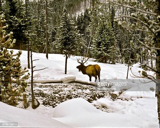 Moose in the snow, Yellowstone National park