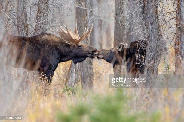 moose kisses - 動物の行動 ストックフォトと画像