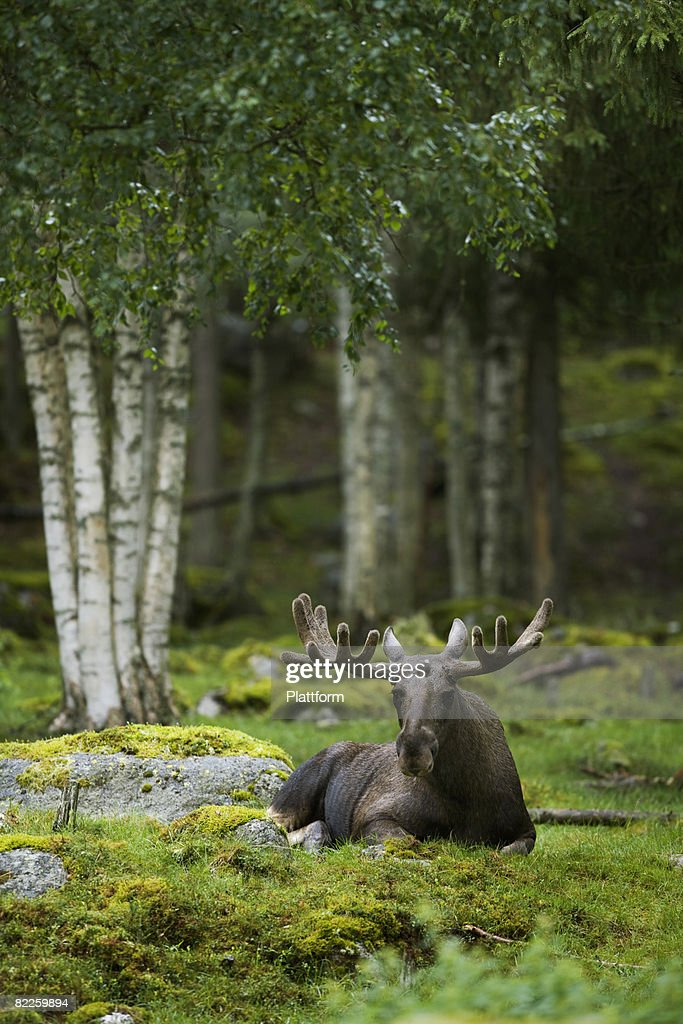A moose laying down Sweden. : Stock Photo