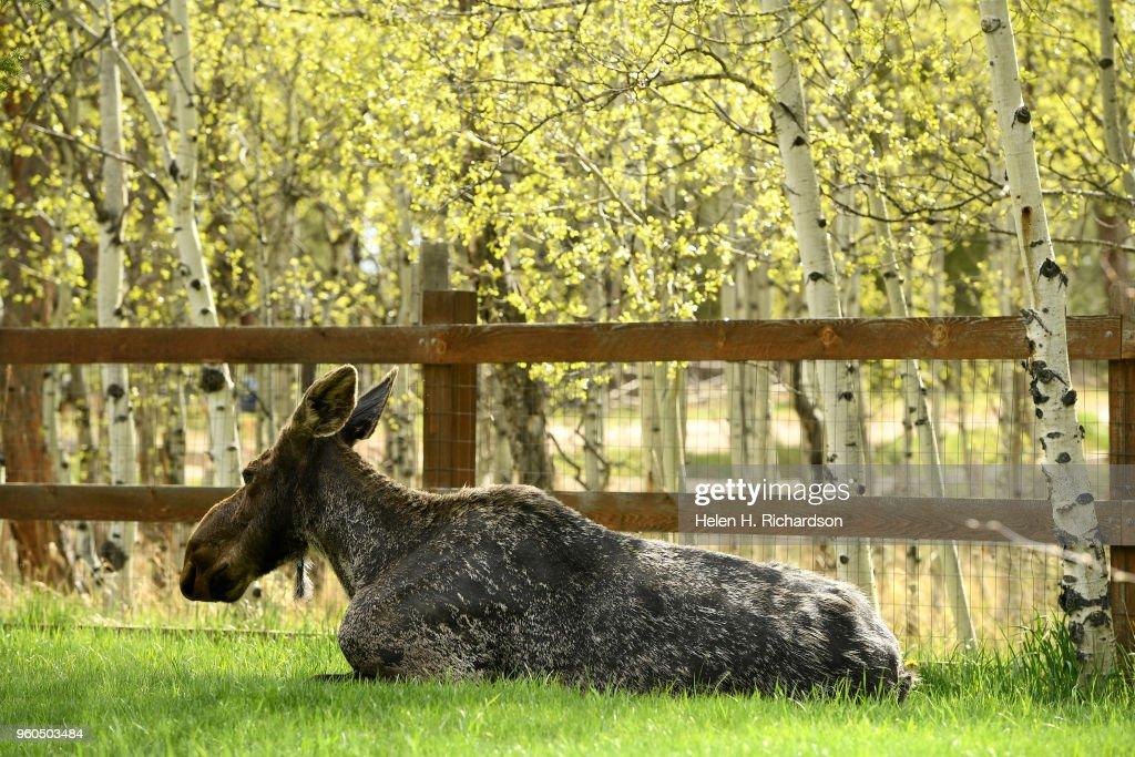 Moose in Nederland. : News Photo