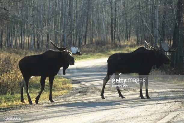 Moose (Alces alces), males during the rutting period, Alberta, Canada