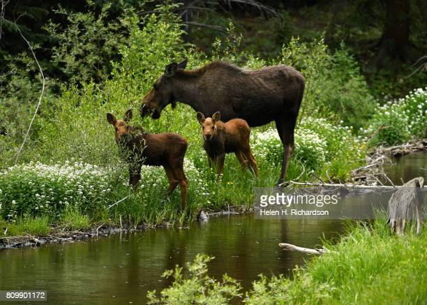 A moose nibbles on branches near a stream with her two young calves by her side in the Peak 7 neighborhood near the White River National Forest on...