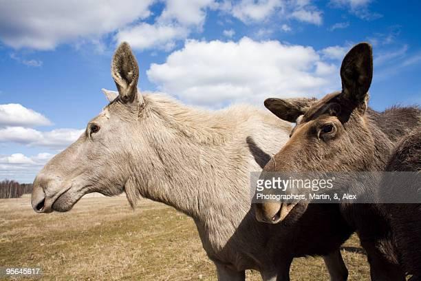 Moose on a field, Sweden.