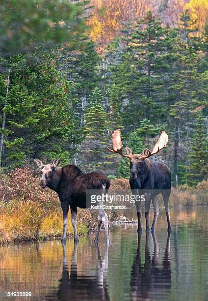 moose pair in pond - maine stock pictures, royalty-free photos & images