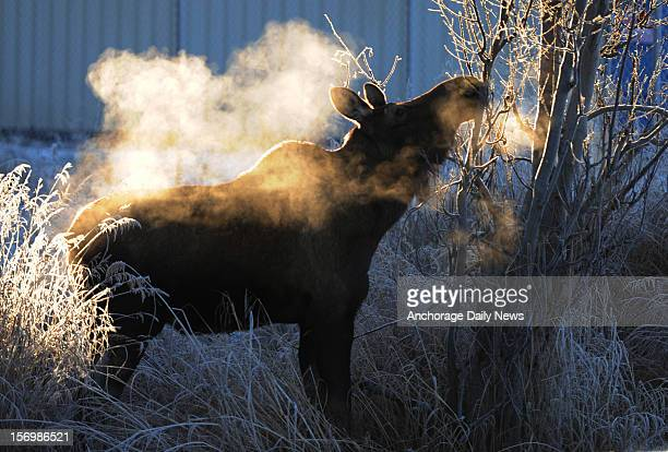A moose partakes in a frosty meal along Lake Hood Drive Monday November 26 2012 at Ted Stevens Anchorage International Airport in Anchorage Alaska