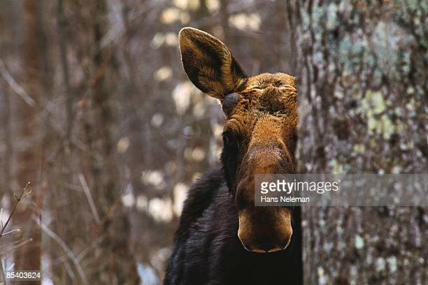 Moose peering between trees at dusk