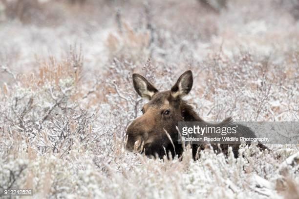 moose - 一匹 ストックフォトと画像