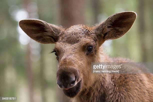 Moose Pup Portrait