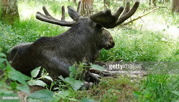 Moose Relaxing In Forest