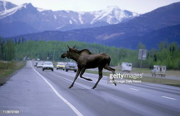 A moose runs across the Glenn Highway in Anchorage Alaska in front of traffic Wednesday March 25 2009