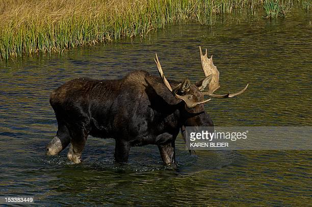A moose saunters across the Snake River October 4 2012 in the Grand Teton National Park in Wyoming Grand Teton National Park is located in...