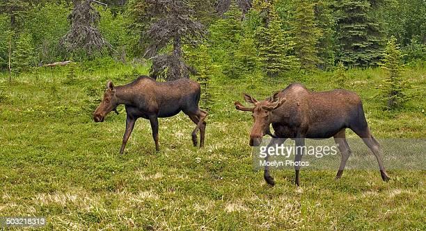 Moose Siblings