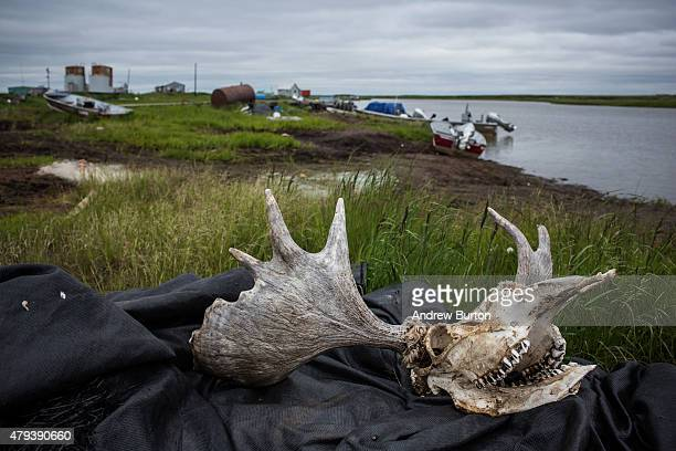 A moose skull sits atop fishing equipment on July 1 2015 in Newtok Alaska Newtok has a population of approximately of 375 ethnically Yupik people and...
