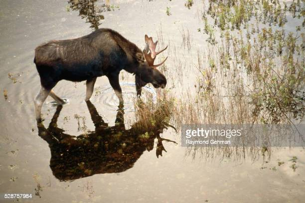 Moose Standing in a Pond