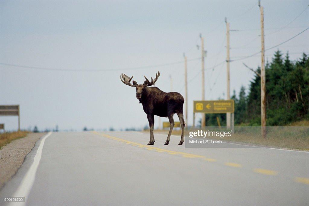Moose Standing in Highway : ストックフォト