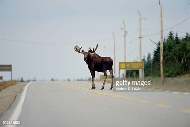 moose standing in highway - image stock pictures, royalty-free photos & images