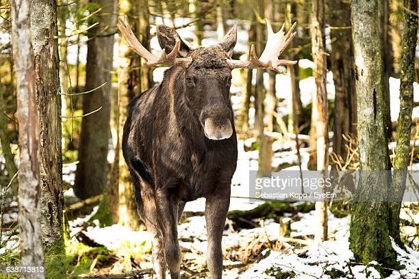 Moose Standing On Field Amidst Trees In Forest
