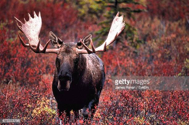 Moose Standing On Field