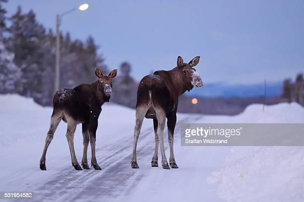 Moose, Swedish Lapland