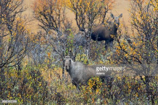 Moose two cows with calf foraging among willow shrubs in moorland in autumn Scandinavia