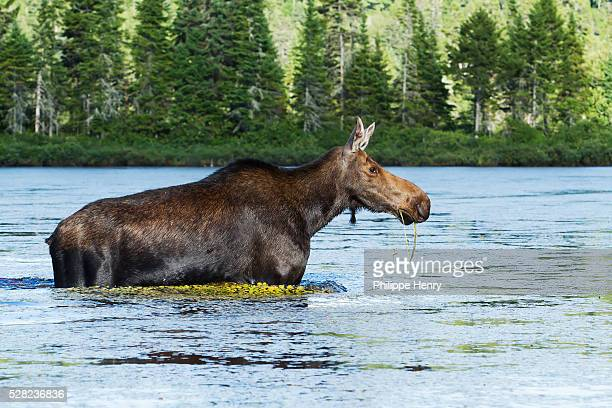moose walking in lake - シャウィニガン ストックフォトと画像