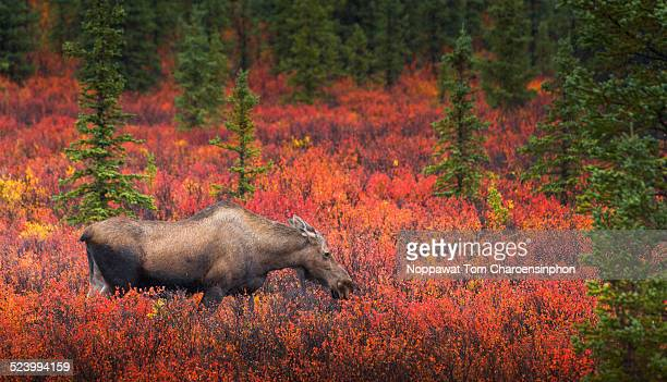 Moose with Alaskan Fall Foliage