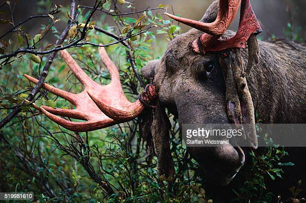 Moose with Red Antlers