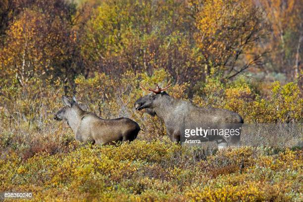 Moose young bull and juvenile male foraging in moorland in autumn Scandinavia