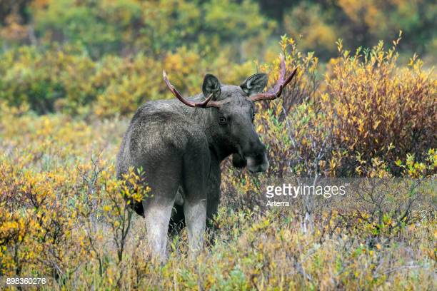 Moose young bull with small antlers foraging among willow shrubs in moorland in autumn Scandinavia