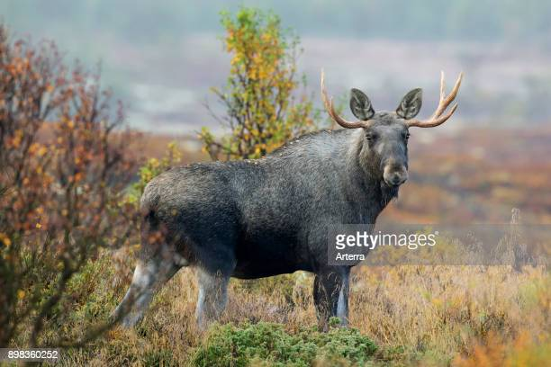 Moose young bull with small antlers foraging in moorland in autumn Scandinavia